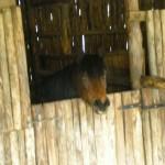 cavallo nei box