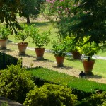 limoni in giardino di petroio