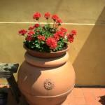 vaso di gerani